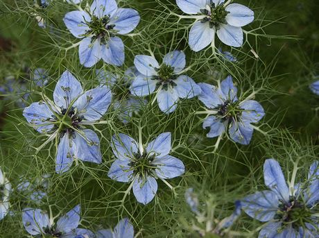 Cumin Health Benefits - Nigella